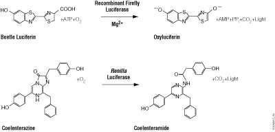 Diagram of firefly and Renilla luciferase reactions with their respective substrates, beetle luciferin and coelenterazine, to yield light.