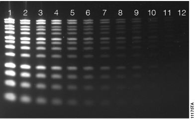 Diamond™ Gel Nucleic Acid staining of DNA separated on a 1.2% Clear E-gel®.